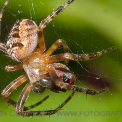 spinnetje met prooi