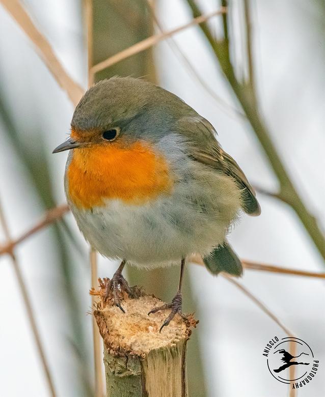 Peinzend roodborstje - Dit roodborstje lijkt te peinzen wat z'n volgende stap zal zijn. Wat een heerlijk vogeltje is dit toch!