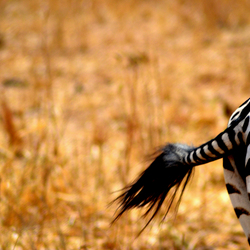 Zebrabillen