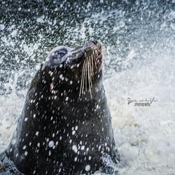 Zeeleeuw uit het water