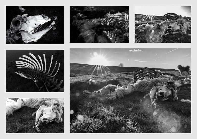 """Kleine wolf in Schaapskleren - Bij mijn vorige foto """"Onder Water"""" noemde ik het dode schaap... Met een landschapsfoto in gedachten reed ik g"""