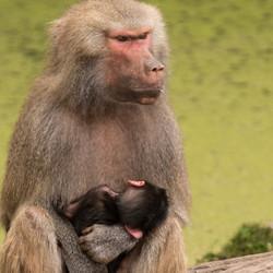 moeder en kind Baviaan