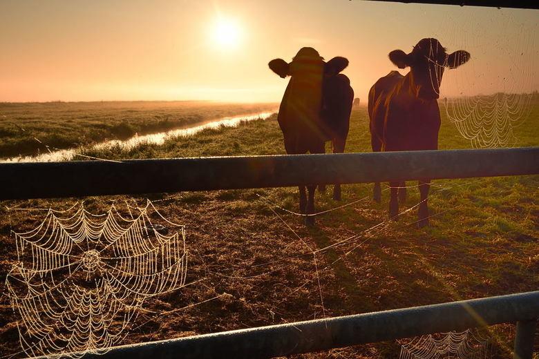 Beetje nieuwsgierig - Iedereen bedankt voor de reacties op mijn vorige upload.<br /> <br /> Nieuwsgierige koeien op een mistige ochtend