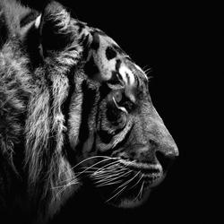 Sumatraanse tijger BW