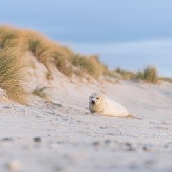 Zeehond pup