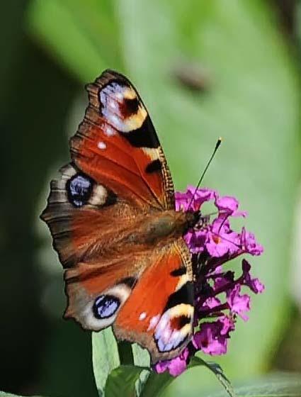 Een van de laatste. - Zondag nog enkele vlinders op de vlinderstruik gezien, denk dat het de laatste zijn.<br /> <br /> iedereen bedankt voor de rea