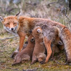 Vossen gezin