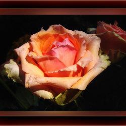 Roos is een roos is een....