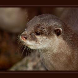 Dwerg-otter