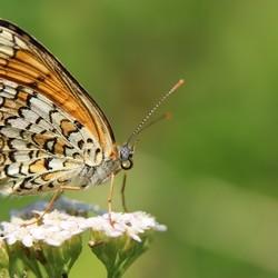Melitaea athalia ---Bosparelmoervlinder