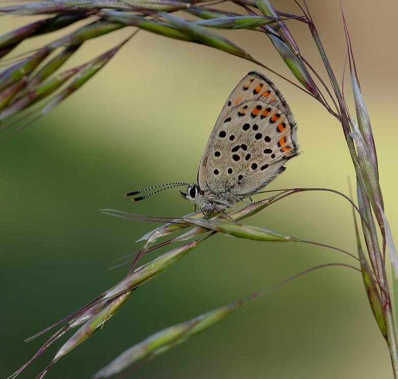 """Bruine vuurvlinder - Behoeft geen verdere toevoeging voor de vlinder.<br /> <br /> Wel een mededeling van huishoudelijke aard <img  src=""""/images/smi"""