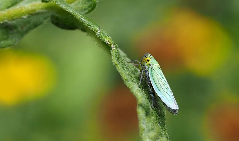 Groene rietcicade -
