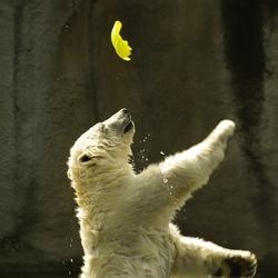 Spelende jonge ijsbeer 2