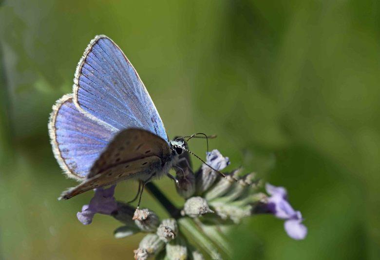 het blijft zomer - Zoom zit vol met paddo&#039;s, voor de afwisseling een manlijk icarusblauwtje.<br /> <br /> Bedankt voor alle reacties -in welke