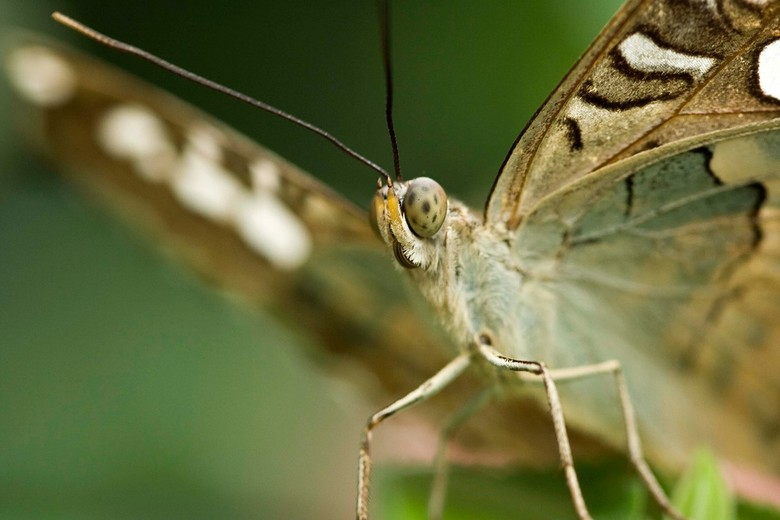 Vlinder voorkant -