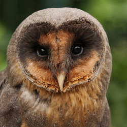Black Barn Owl.
