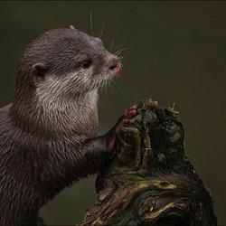 otters................