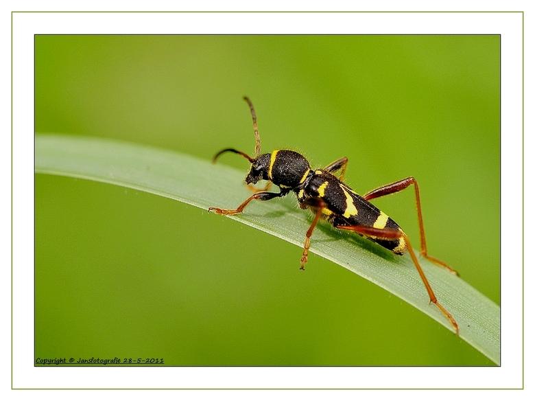 De kleine wespenbok (Clytus arietis) - bedankt voor de rea, op m,n pff pff pff wat een zware last<br /> <br /> <br /> Kleine wespenbok<br /> Uit W