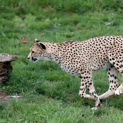 Lopende Cheetah
