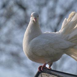 Witte Pauwstaart.