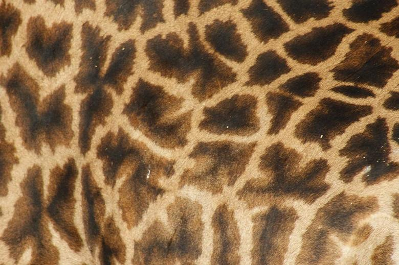 Giraffe - Giraffe in Tangarire NP Tanzania