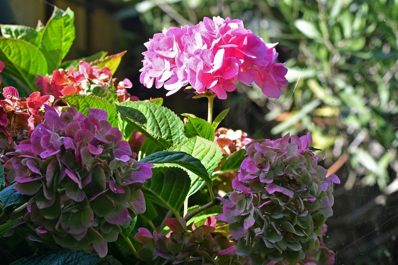 Nakomer - Terwijl de herfst begint, de hortensia's in onze tuin in hun laatste stadium mooi staan te zijn, viel het in één keer op dat de stamhor