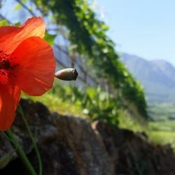 Klaproos in de wijngaard