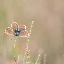 Heideblauwtje - vrouw