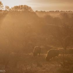 wisenten in de vroege morgen,eerste zon komt over de bevroren grond om de aarde te verwarmen