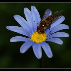 Syrphidae.........