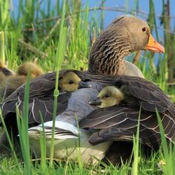 Onder moeders vleugels