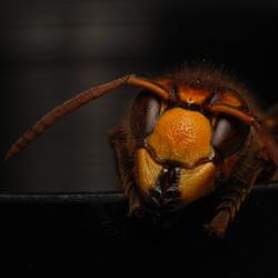 pertret van een hoornaar