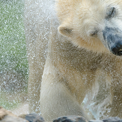 Polar bear and Drops .....