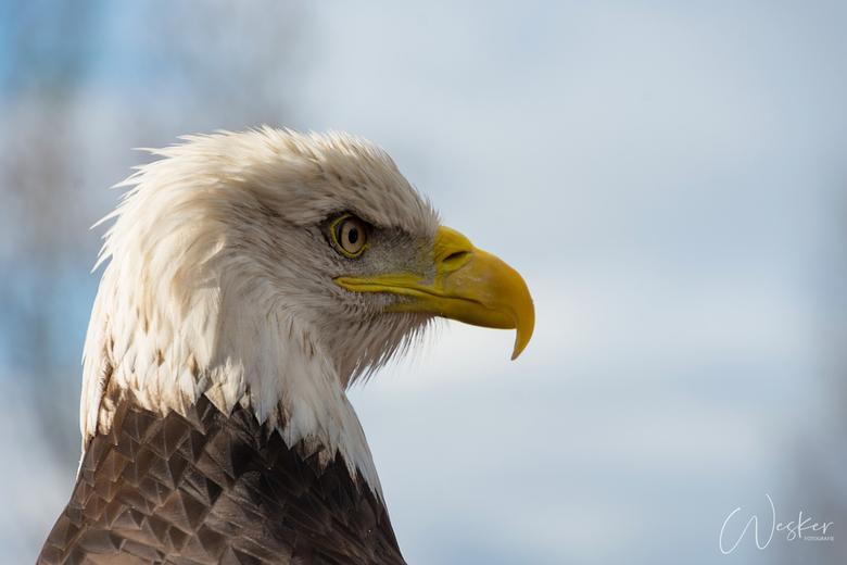 Bald Eagle - Amerikaanse Zeearend