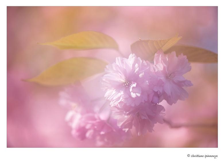 Pink Romance - Detailopname van de bloeiende Japanse kerselaar