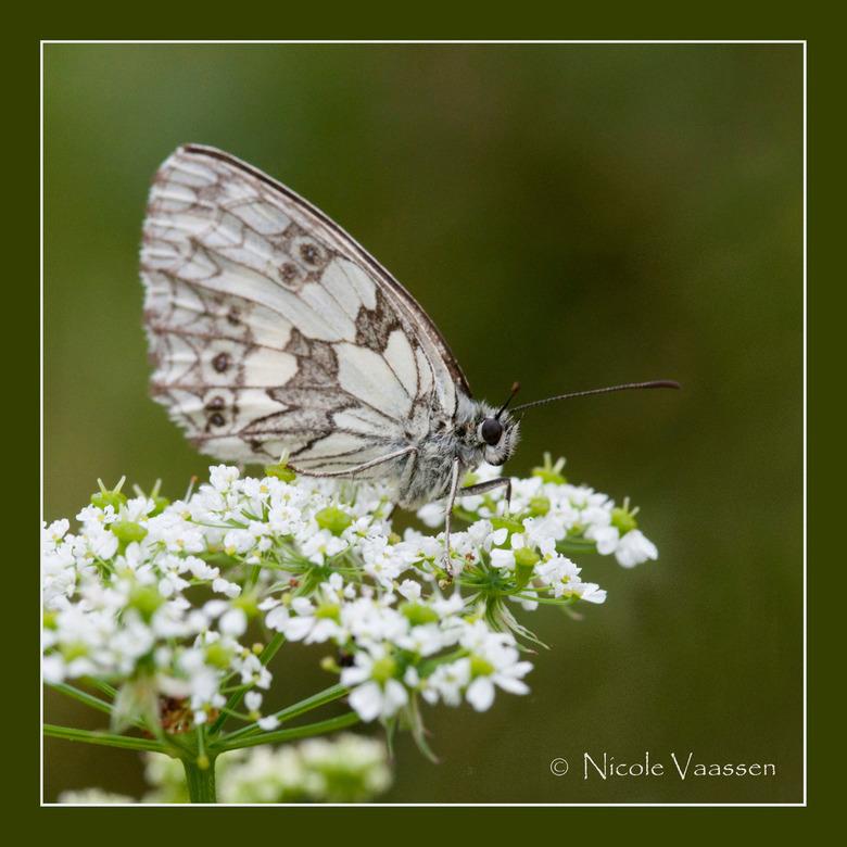 dambordje - Dit is het zelfde vlindertje als de vorige foto, maar vanuit een andere hoek geschoten, Vond het wel grappig dat je toch heel verschillend