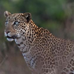Luipaard op jacht in de schemer