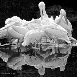 Pelikanen in vergadering