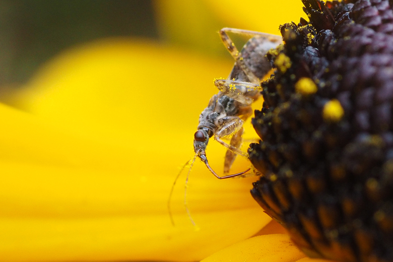 Miersikkelwants - Miersikkelwants  (Himacerus mirmicoide) op Gele zonnehoed