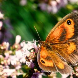 vlinder851