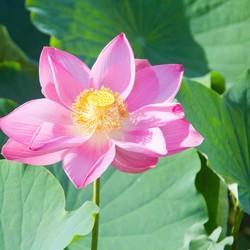 lotus  lelie.jpg