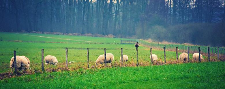 een Arend die aan het zoeken is naar een lekker hapje tussen de schapen.