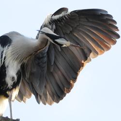 reiger met gespreide vleugel