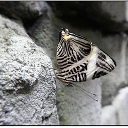 vlinders in love