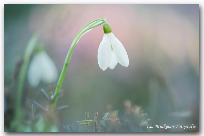 Lente klokje - De sneeuwklokje geven aan dat de lente gaat beginnen. Zoals in het oude Hollandse kinderliedje klinkt. 'Als in Holland de sneeuwkl