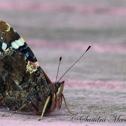 Pauwenoog vlinder
