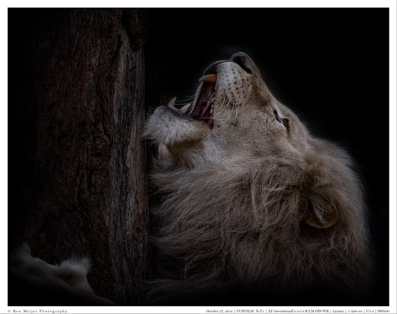 The lion sleeps not tonight