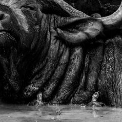 Struggles of a Buffalo