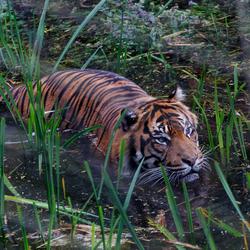 Sumatraanse tijger in het water