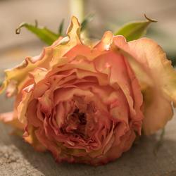 Curling Rose